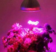 钱柜娱乐_红、蓝光LED混合照明下,冬天可收获夏天的树莓